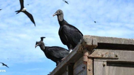 Blog Black Vultures